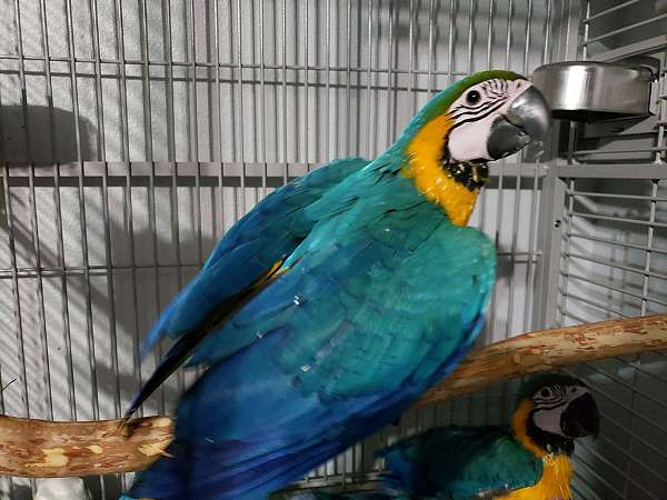 macaw-for-sale