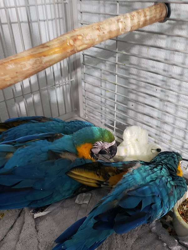 blue-gold-bird-for-sale