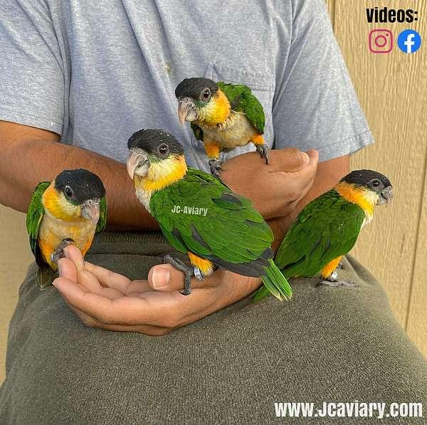 budgerigar-parakeet-for-sale