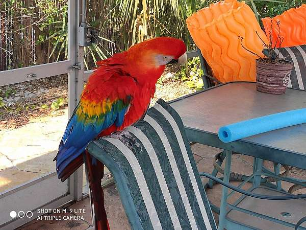 scarlet-macaw-for-sale-in-margate-fl