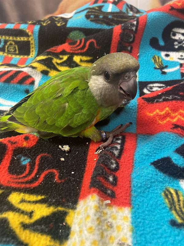 parrot-for-sale