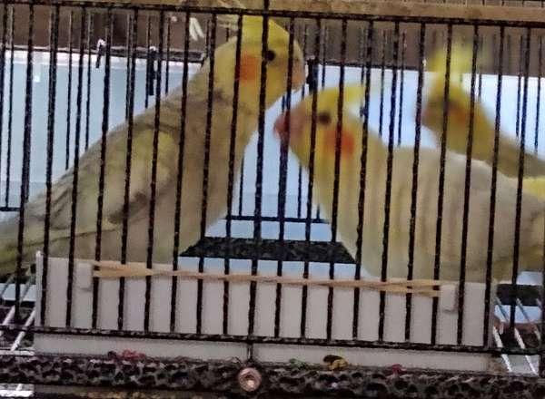 yellow-bird-for-sale-in-bloomingdale-ga