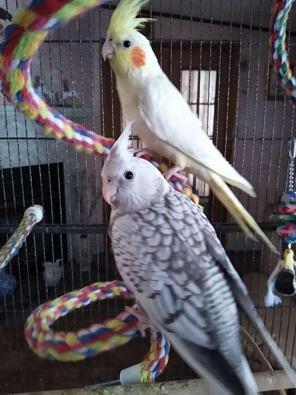 male-bird-for-sale-in-bloomingdale-ga