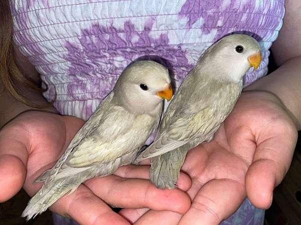 lovebird-for-sale
