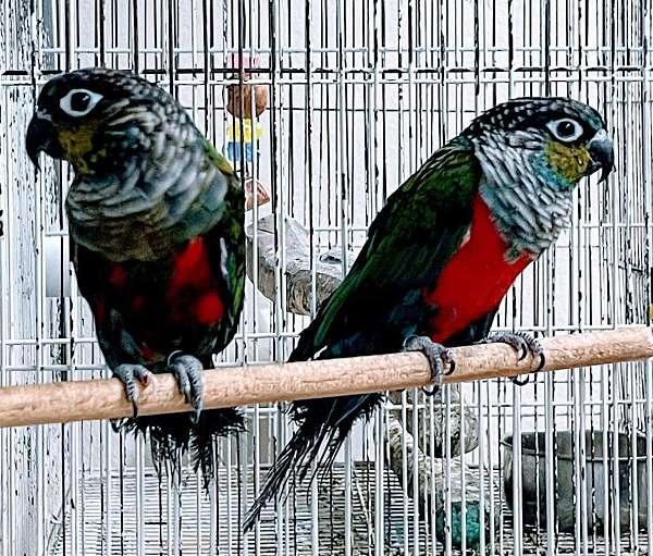 black-bird-for-sale